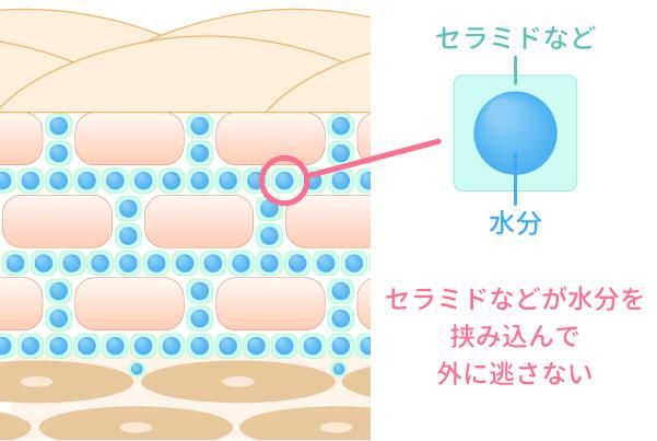 セラミドが水分を挟み込む保湿のイラスト