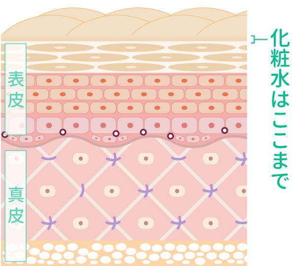 化粧水はここまで浸透するイメージのイラスト
